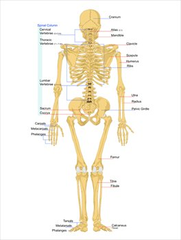 Back clipart human back. Free skeleton graphics images