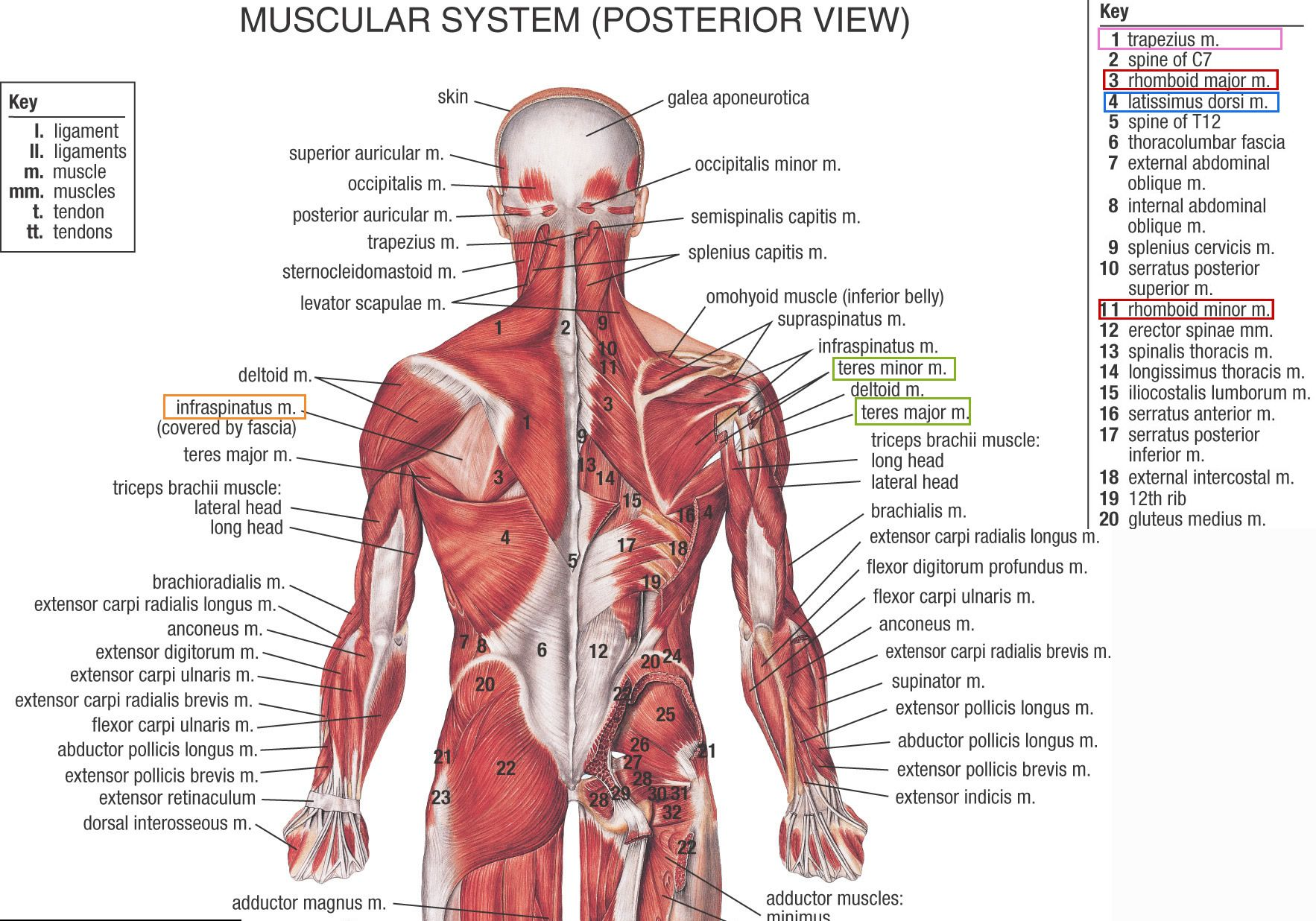 Muscles ligaments and tendons. Back clipart muscle spasm