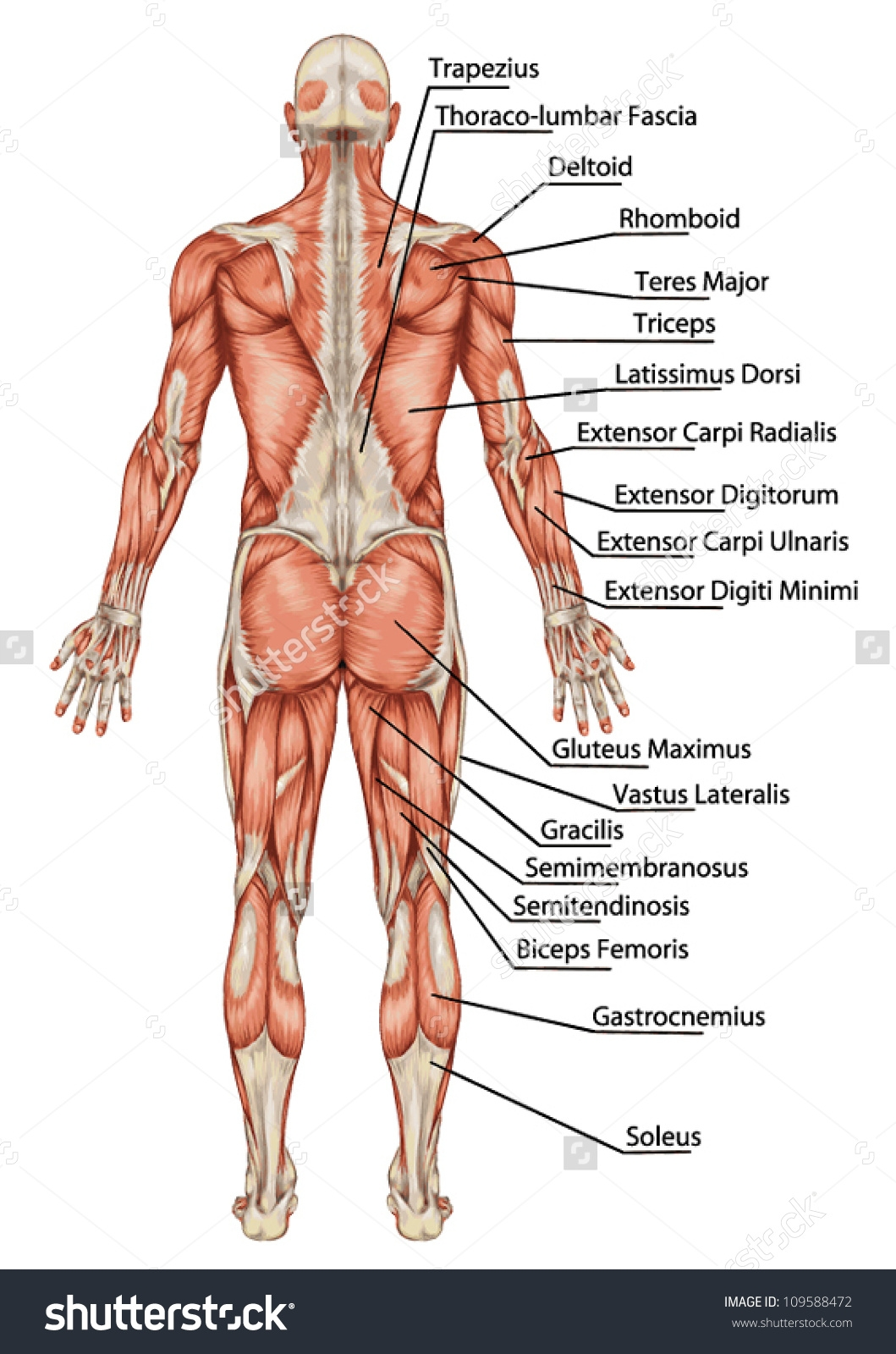 Anatomy of body muscles. Back clipart muscular