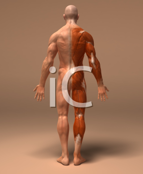 Royalty free d image. Back clipart muscular