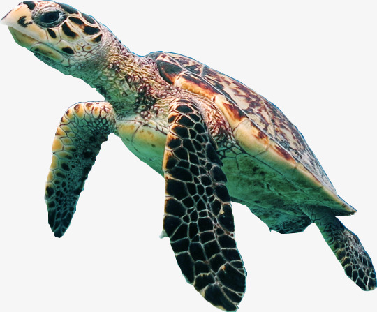 Swimming material brown png. Back clipart sea turtle