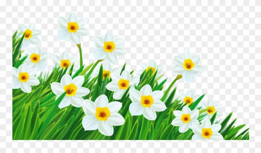 Daffodil break clip art. Daisies clipart spring season