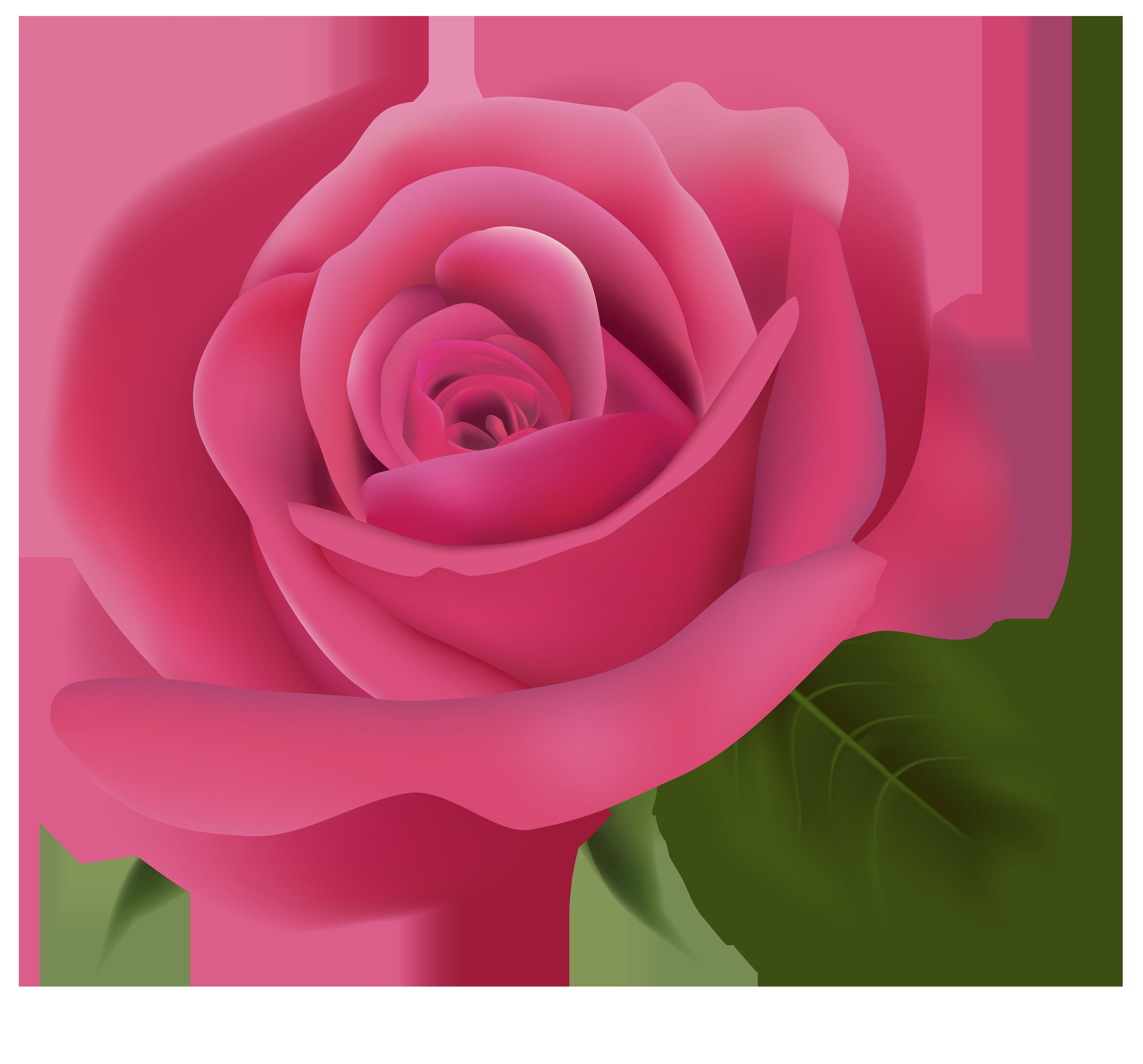Pink rose transparent background. Single flower png