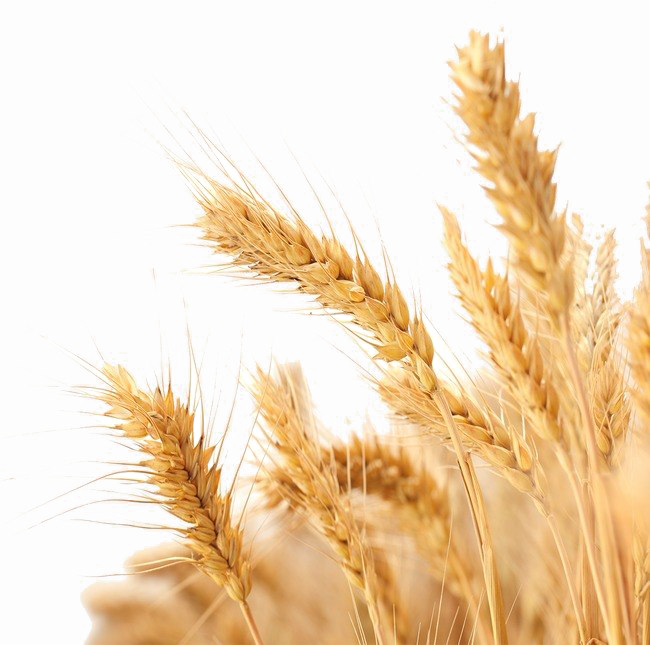 Wheat image arts. Background images png