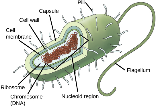 Biology biological diversity prokaryotes. Bacteria clipart archaebacteria