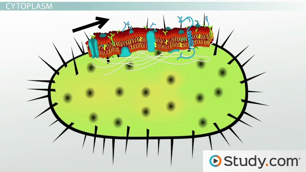 Bacteria clipart bacteria cell. Bacterial cytoplasm membrane structure