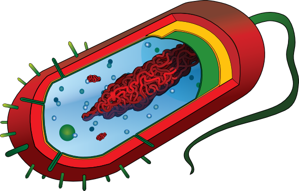 Bacteria clipart bacteria cell. Bacterial no labels clip