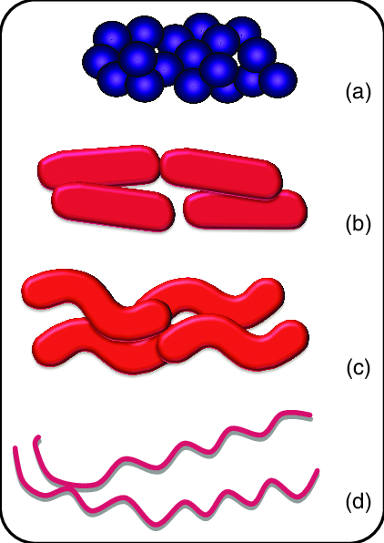 Major morphological forms of. Bacteria clipart coccus bacteria