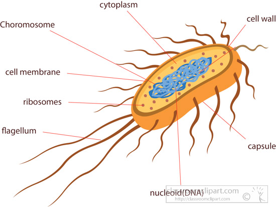 Bacteria clipart e coli. Science cross section of