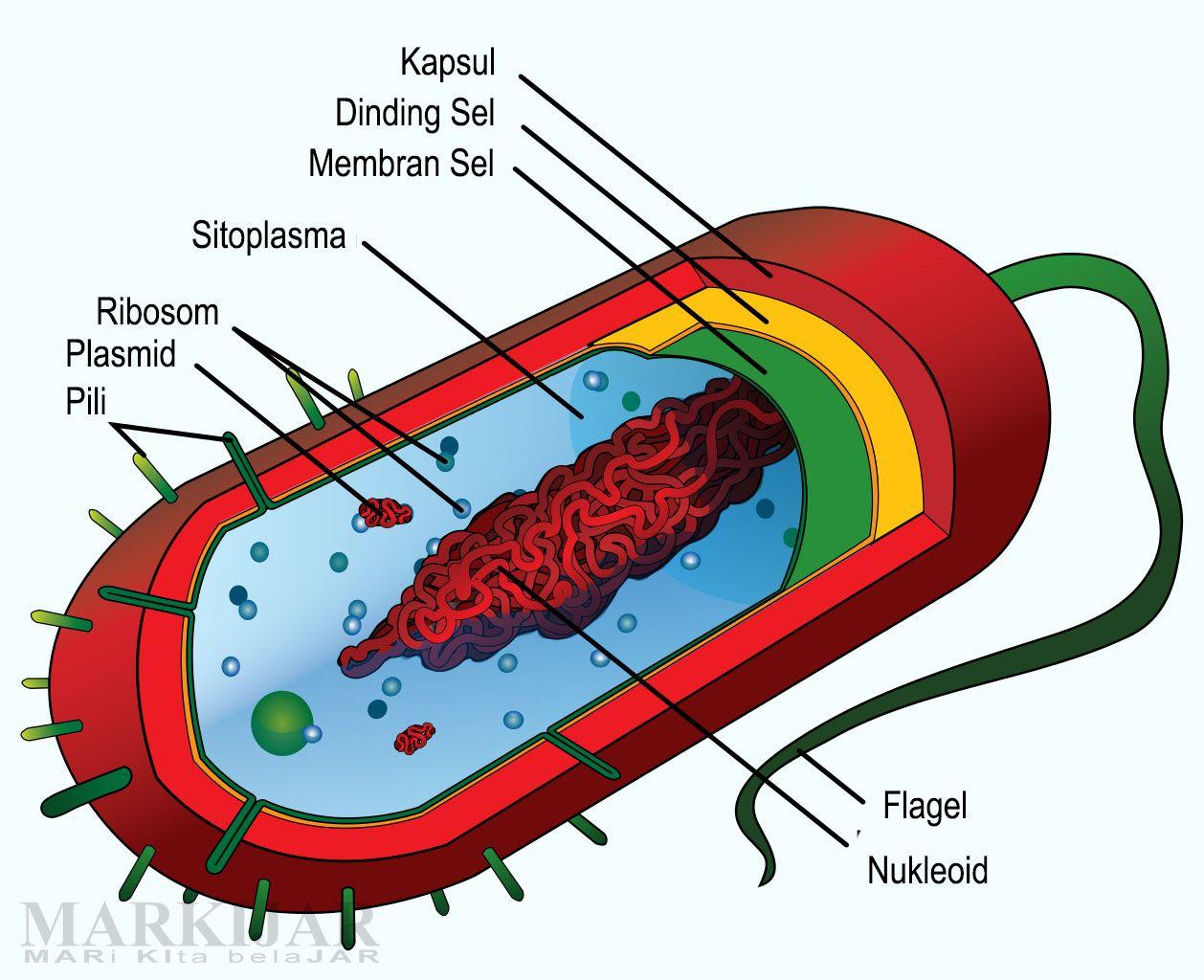 Image result for gambar. Bacteria clipart eubacteria