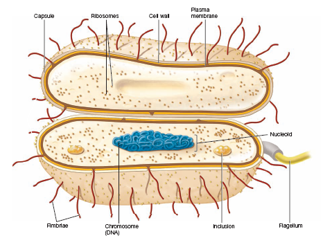 Cell clipart eubacteria. Similarities between and archaebacteria
