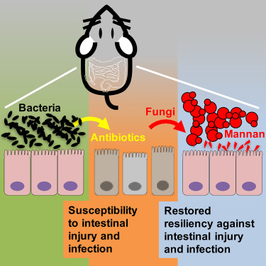 Commensal fungi recapitulate the. Bacteria clipart fungal infection