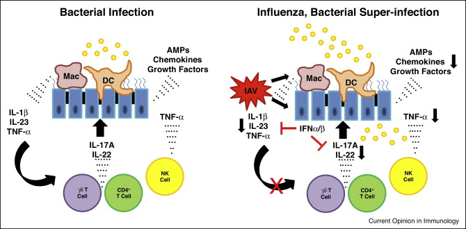 The of influenza virus. Bacteria clipart immunology