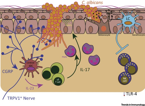 Skin immunity to candida. Bacteria clipart immunology
