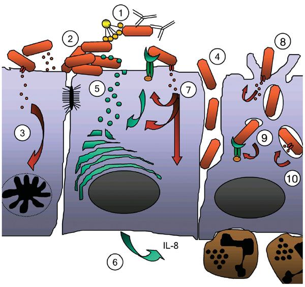 Bacterial strategies for overcoming. Bacteria clipart immunology