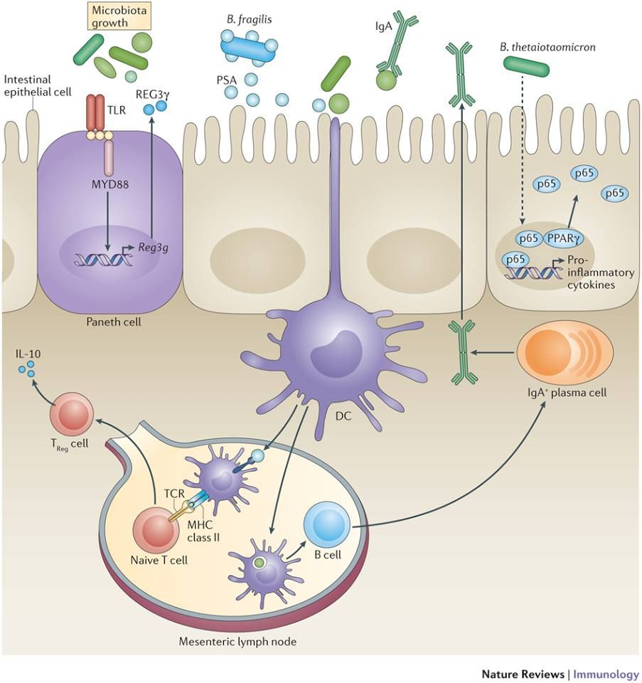 Nature reviews enteric bacterial. Bacteria clipart immunology
