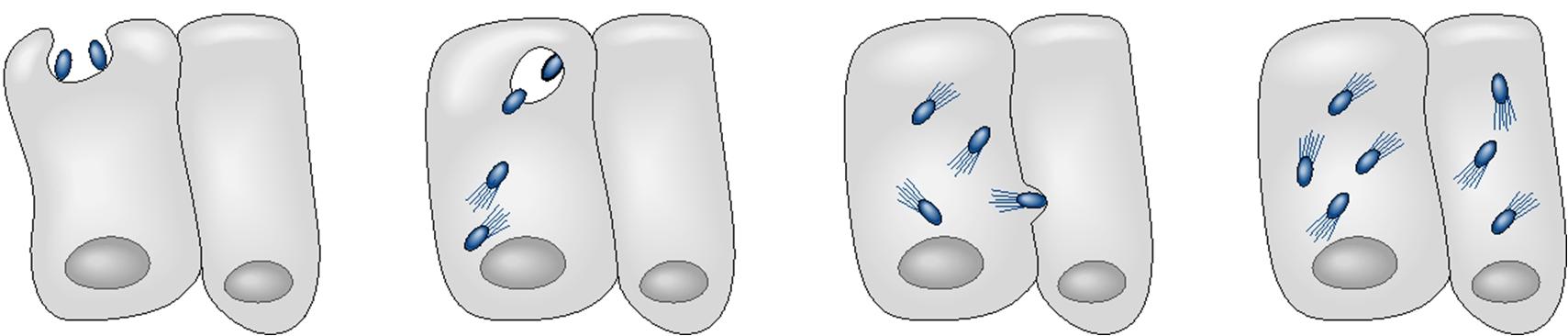 Monocytogenes gram positive pathogen. Bacteria clipart listeria