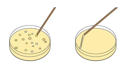 Biology the postulate and. Bacteria clipart petri dish