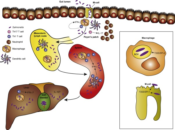 Bacteria clipart salmonella. Infection interplay between the