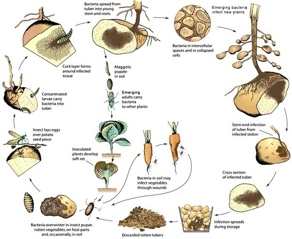 Bacteria clipart soil bacteria. How do microorganisms benefit