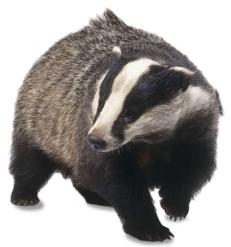 Badger clipart. Panda free images