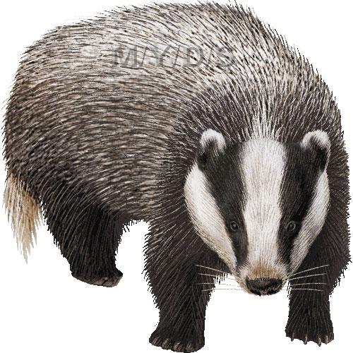 Panda free images . Badger clipart