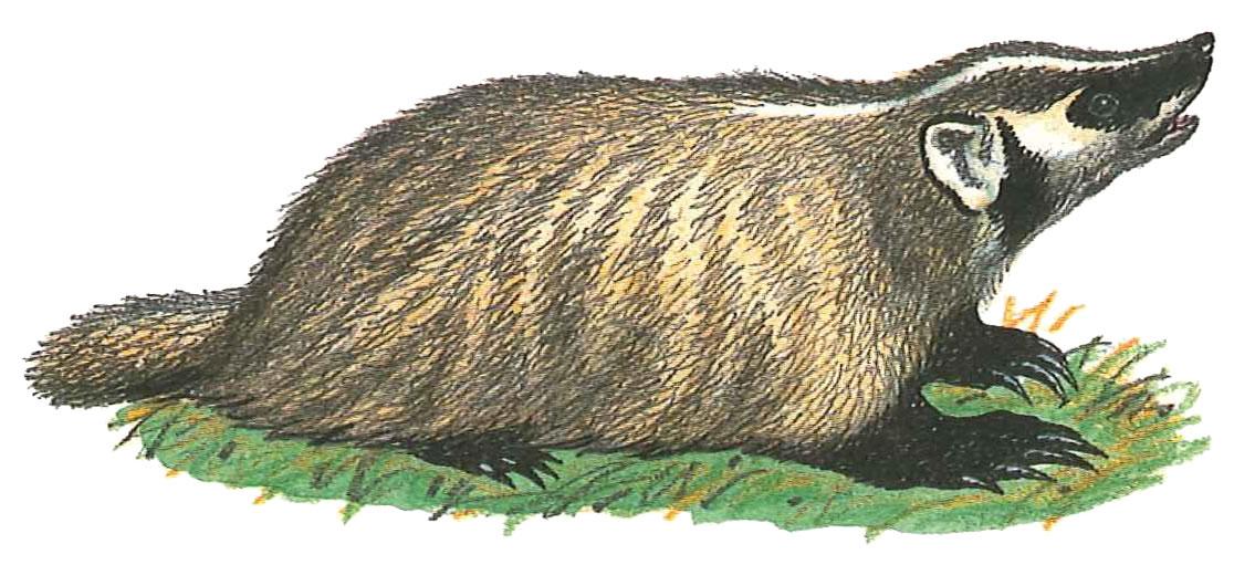 Badger clipart american badger. State symbols animal