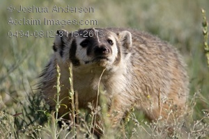 Badger clipart american badger. Stock photography acclaim images