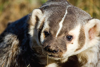 Recovery strategy ontario ca. Badger clipart american badger