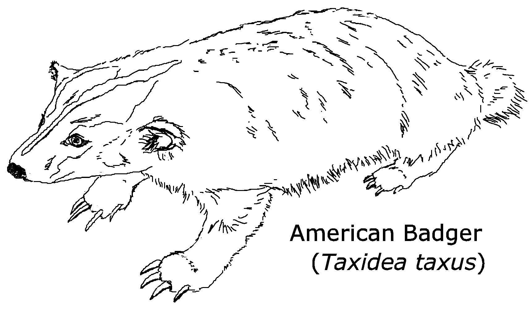 Coloring pages printable for. Badger clipart american badger