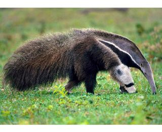 best anteaters images. Badger clipart ant eater
