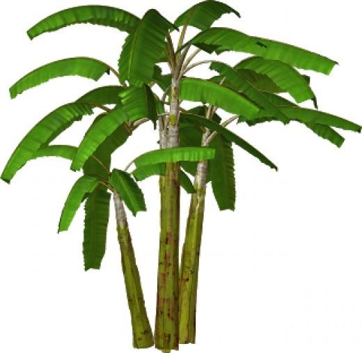 Banana clipart tree. Plants panda free images