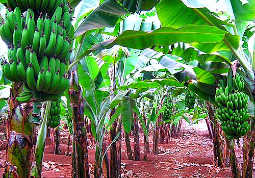 How to grow in. Bananas clipart banaba
