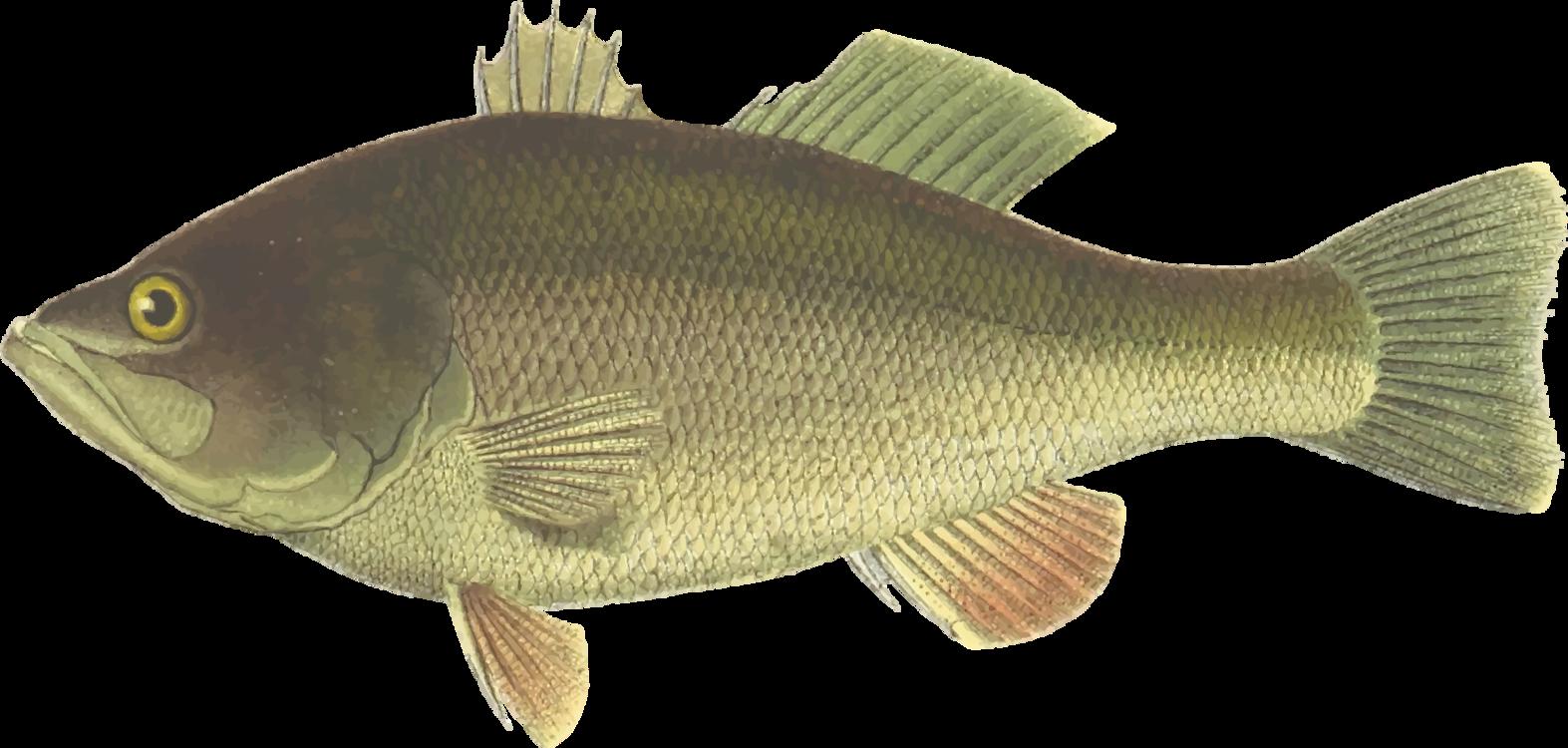 Perch tilapia png royalty. Bass clipart bony fish