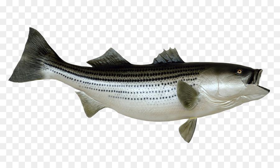 Bass clipart bony fish. Striped fishing stock photography