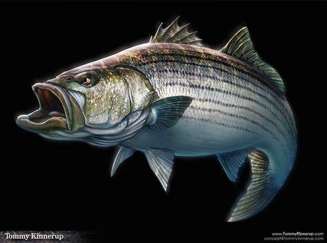Bass clipart bony fish. Striped drawing at getdrawings