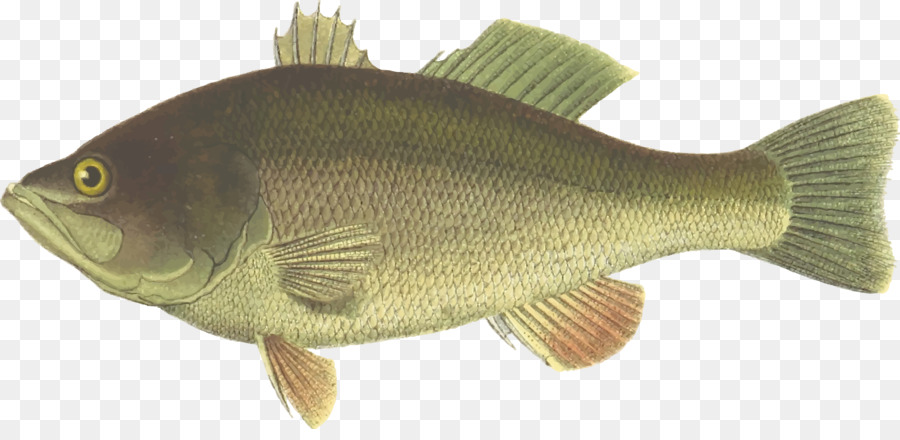 Bass clipart bony fish. Largemouth drawing clip art