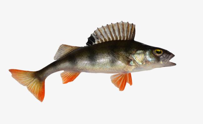A stone perch grunts. Bass clipart bony fish