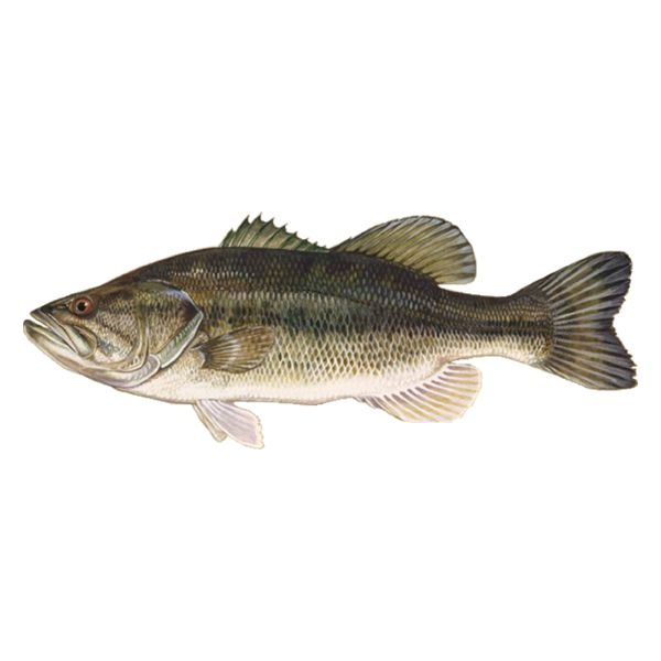 Largemouth free download fish. Trout clipart spotted bass