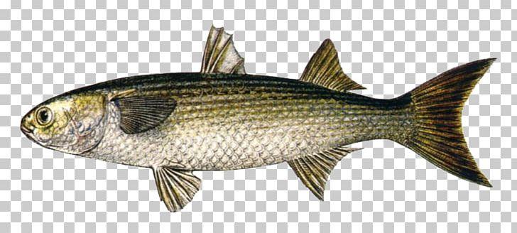 Sardine fish products carp. Bass clipart milkfish