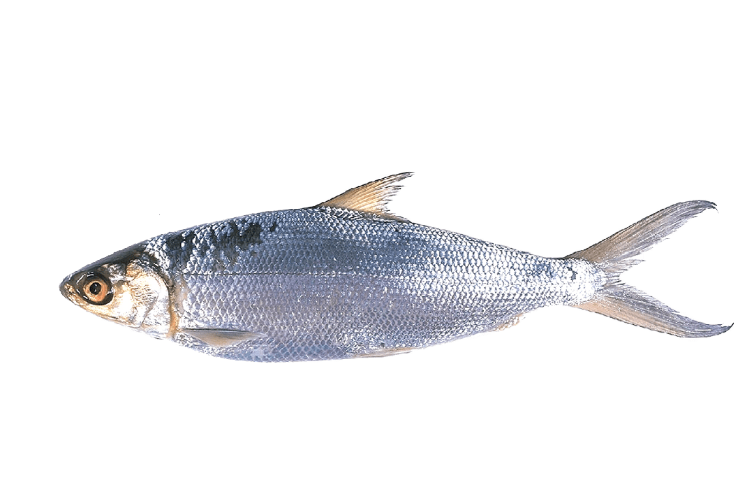 Master makmur lestari milk. Bass clipart milkfish