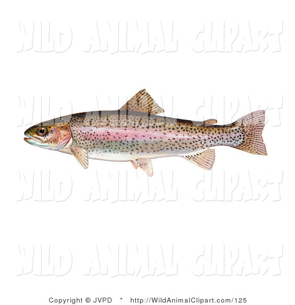 Bass clipart rainbow trout. Clip art of a