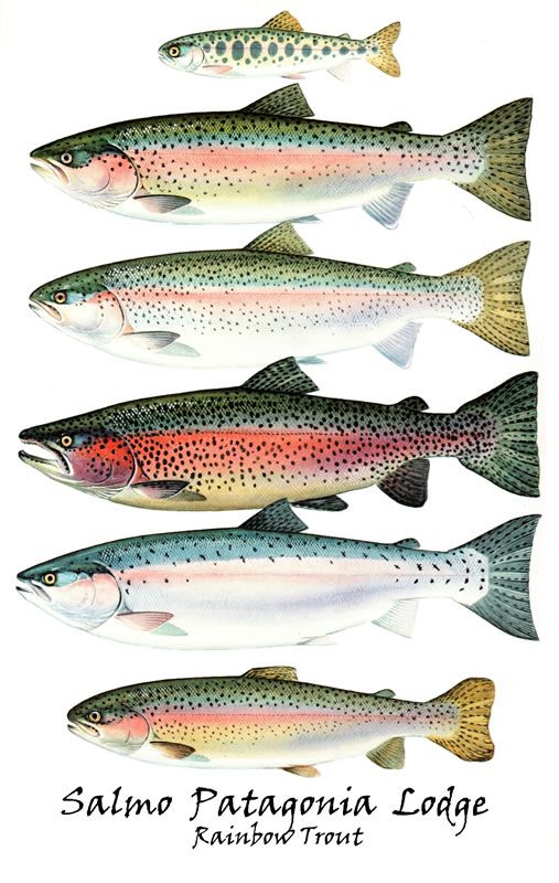 best fish images. Bass clipart rainbow trout