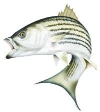 Bass clipart striped bass. Pngspirit graphix spirit png