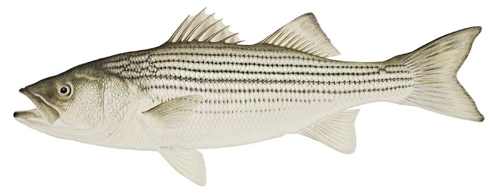 Morone saxatilis animals aquatic. Bass clipart striped bass
