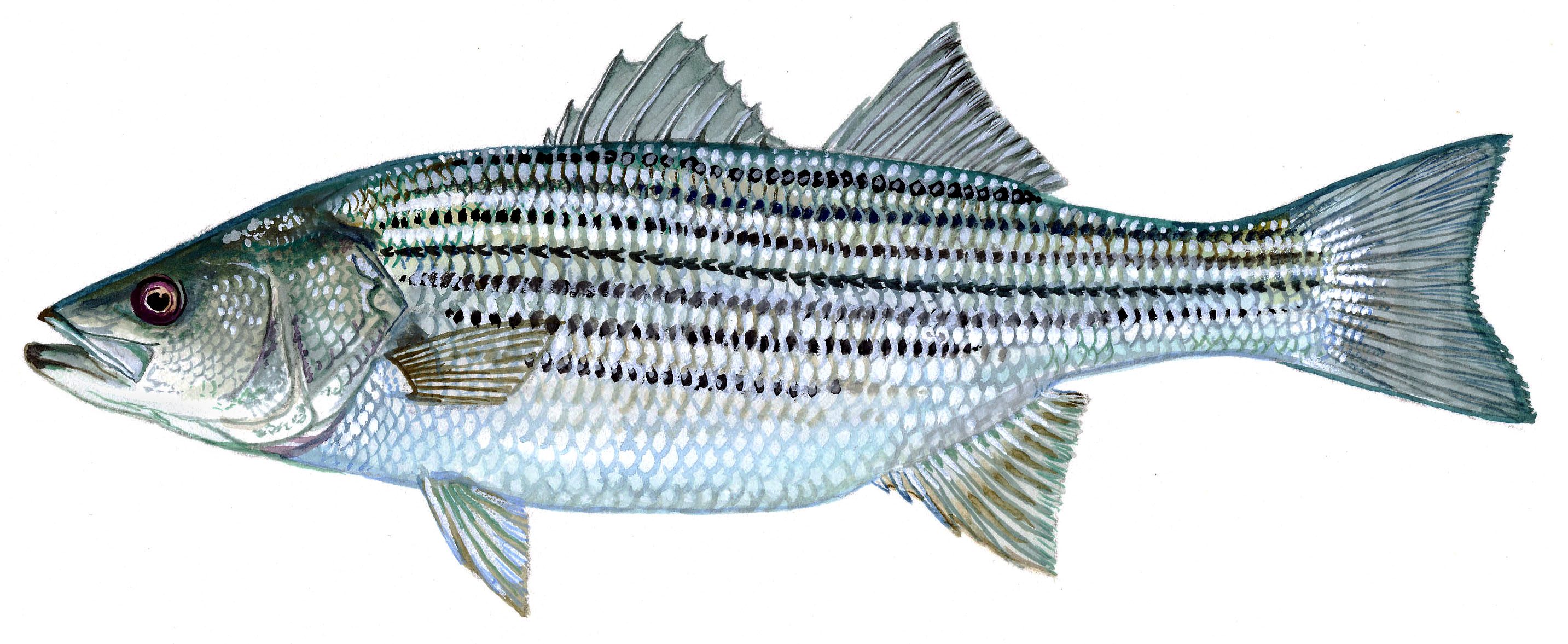 Bass clipart striped bass. Changes to commercial fishing