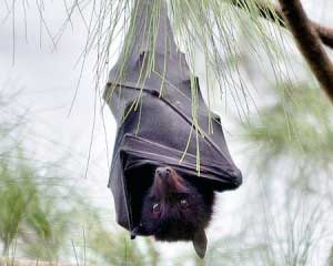 Bat clipart flying fox. Australian r d review