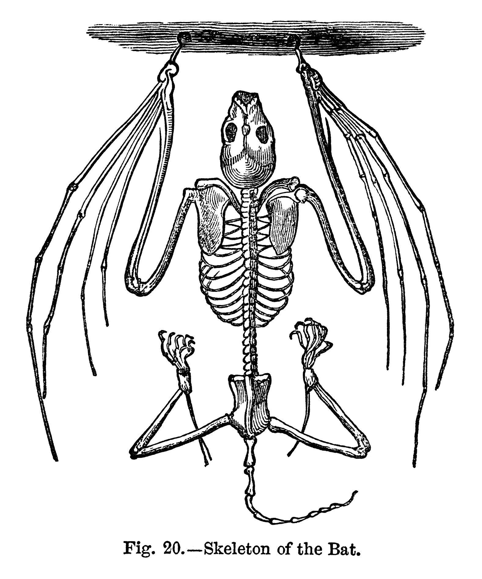 Vintage halloween clip black. Bat clipart line art