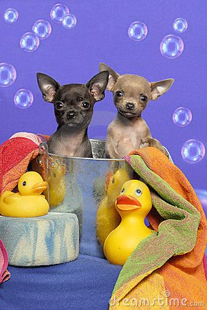 best love images. Bath clipart chihuahua