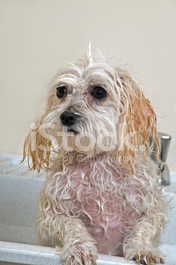 Bath clipart poodle. Maltese toy mix puppy